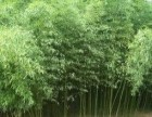 绿化竹子水生植物山东绿化竹子北方耐寒竹子