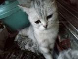 转让纯种美国短毛小猫猫