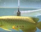 金龙鱼 红龙鱼 观赏鱼 缸鱼 珍珠 皇冠 黑金