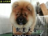 纯种肉嘴紫舌松狮犬出售 毛色好毛量足泰迪 公母都有