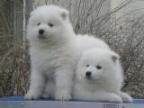 正規犬舍繁殖薩摩耶等名犬 健康保障簽協議包活可送貨