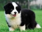 边牧 边境牧羊犬 幼犬狗狗出售中型犬赛级品质上门挑
