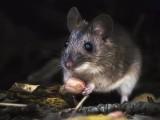 广州上门除老鼠公司,高压电流击晕老鼠,封堵进鼠通道