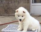 自家精品萨摩耶幼犬
