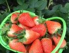 南部山区草莓采摘基地