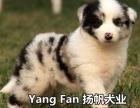 广州什么地方有纯种边牧犬卖 广东扬帆犬舍