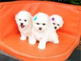 深圳纯种比熊多少钱双血统比熊幼犬