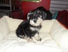 犬舍直销纯种雪纳瑞幼犬 健康保障 签订活体协议