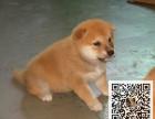 哪里有卖柴犬 柴犬多少钱