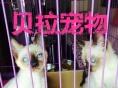 【贝拉宠物】最低暹罗猫加菲猫美短金吉拉猫欢迎比价