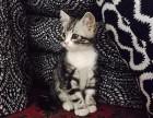 哪里有美短猫虎斑加白卖 纯血统 萌翻你的眼球 品质保障