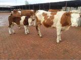 山东西门塔尔母牛销售价格西门塔尔母牛繁育效益分析