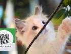 烟台哪里开猫舍卖布偶猫 去哪里可以买得到纯种布偶猫