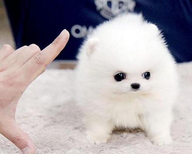 犬舍直销--无中介--广东地区可送货-货到付款