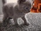 小蓝猫宝宝出售
