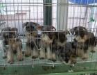 狗场里的雪纳瑞能不能养活 价格贵不贵