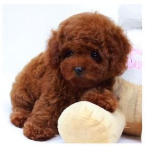出售纯种各色体型泰迪幼犬 贵宾宠物幼犬 长不大袖珍宠物犬