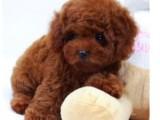 西安本地低价出售纯种狗狗 泰迪边牧柯基巴哥等上门挑选优惠出售