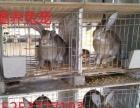 出售杂交野兔养殖场杂交野兔多少钱一只农村养殖好项目