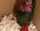出售中大型人工召�拘g繁殖吸蜜鹦鹉 和尚鹦鹉 亚历山大鹦鹉