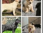本地犬舍繁殖精品拉布拉多犬 健康质保 放心挑选