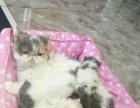 纯种小加菲猫出售