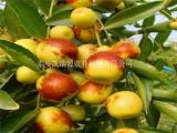江西枣树苗生产商