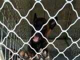 马犬价格 柳州哪里有便宜的马犬 纯种质量好的马犬出售