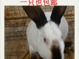 包邮 宠物兔 侏儒兔 垂耳兔 兔苗 黄兔 种兔