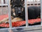 狗场里的德国牧羊犬黑背能不能养活 价格贵不贵