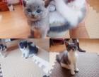 英短蓝猫宝宝500