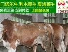 哪里卖肉牛哪里有肉牛鑫河养牛场供应西门塔尔牛