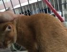 转让自养一岁橘猫能抓老鼠价格电话沟通