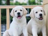 北京西城大骨架拉布拉多幼犬怎么卖
