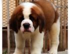 骨架非常大的纯种圣伯纳幼犬 品相好血统纯可签协议