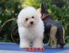 深圳聚德庄犬舍 只为国内繁殖优秀的宠物狗宝宝 比熊