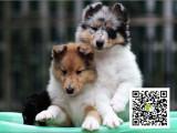 高品质苏格兰牧羊犬 专业基地 健康签协议 可送货上门