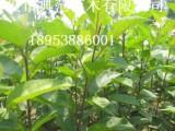 嫁接苹果苗批发供应 优质果苗成活率高 高产苹果苗