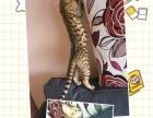 纯种孟加拉豹猫宝宝出售