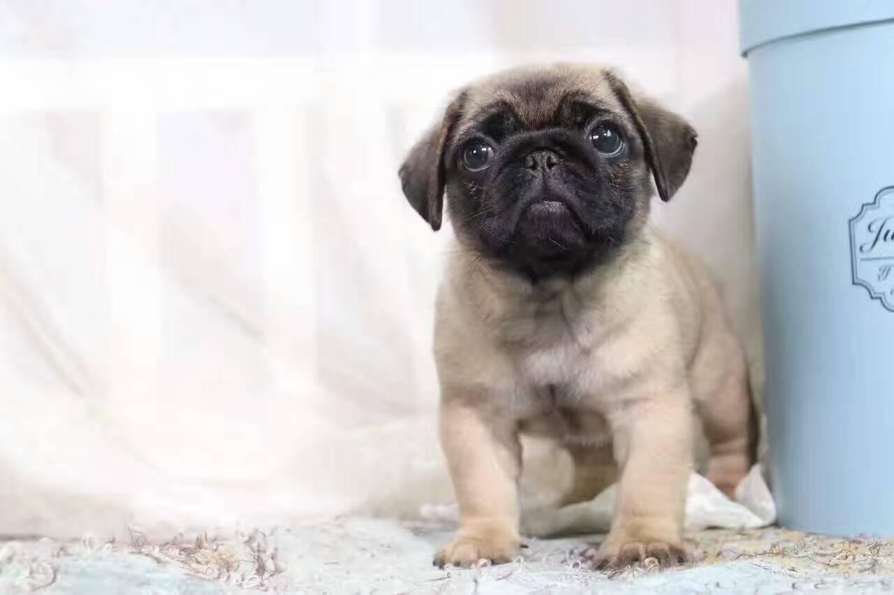 纯种巴哥出售憨厚的小巴哥宝宝皱纹超级皱可爱巴哥幼犬