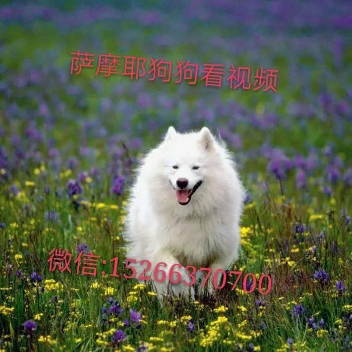 萨摩耶血统狗狗 萨摩耶多少钱只 个人养殖宠物狗