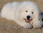 本地犬舍出售纯种大白熊幼犬霸气外漏大骨架