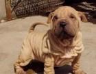 纯种沙皮狗幼犬 当面检查健康,品相质量均一流包3月