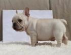上海青浦斗牛犬欧洲引种纯种繁殖价格适中