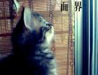 徐州鼓楼家养虎斑猫出售