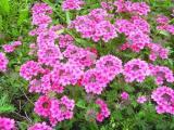 性价比高的美女樱就在旭晖花卉苗木,美女樱种植