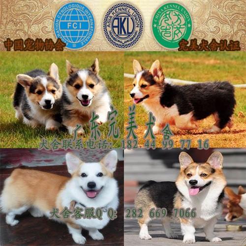 广州狗场 广州市买狗去哪里好 番禺哪里有卖柯基犬 完美狗场