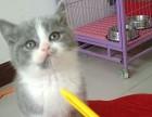 出售自家繁育蓝白猫