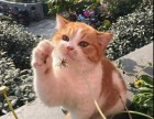 上海广州深圳北京折耳猫宠物猫 淘宝搜:双飞猫