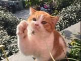 上海广州深圳北京折耳猫宠物猫 搜:双飞猫